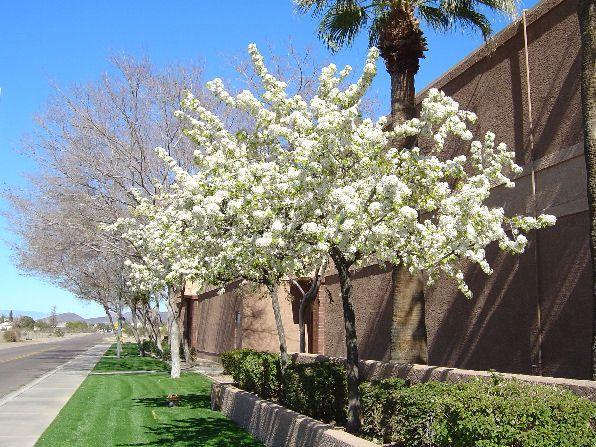 456, American Plum (Prunus americanus), native, top beneficial to 456 species