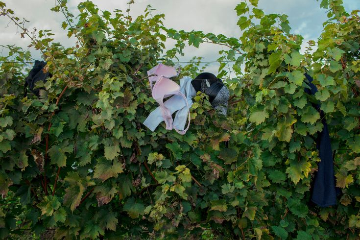 Bapska, Croatia—October 5, 2015: An abandoned bra hangs in a vineyard. These vines give privacy to refugees and asylum seekers who need toilets or changing rooms as they cross into Croatia from Serbia. © Matic Zorman