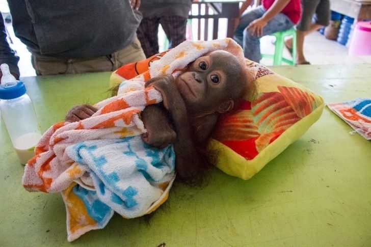 A este bebé orangután lo atacaron unos cazadores. Se recuperó y ahora tuvo su primer día de escuela
