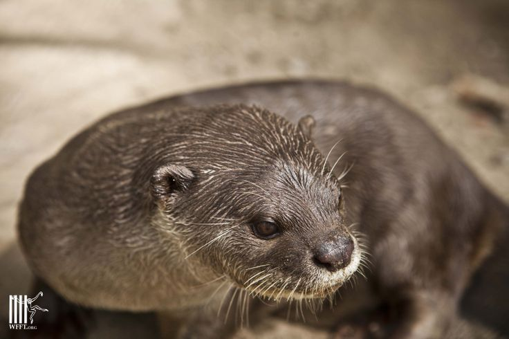 Ollie the Otter is a favorite of many volunteers at WFFT