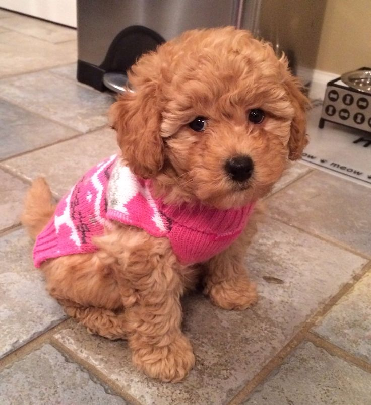 1000+ images about Bichon Poo on Pinterest | Allergies ...