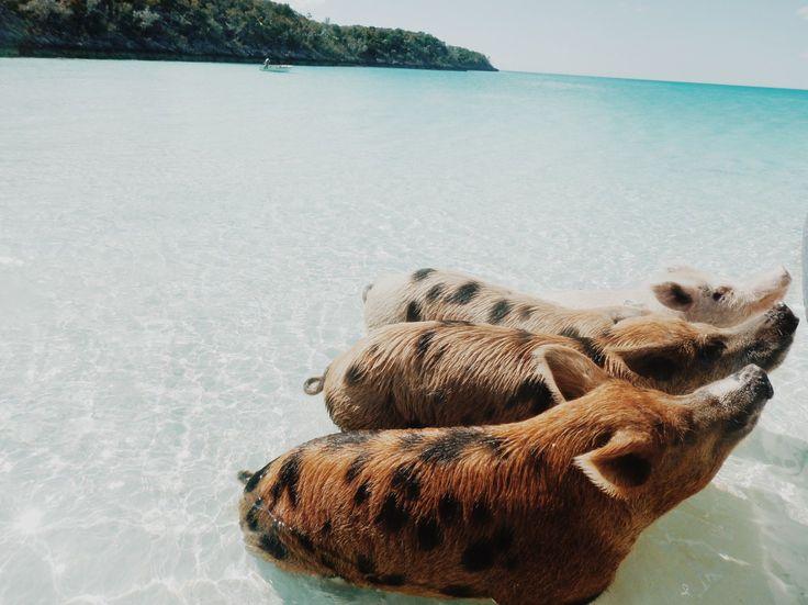 Top Travel Destinations | Bucketlist Vacation| Swimming Pigs| Swimming with Pigs in The Exumas | Staniel Cay | Traveling to The Exumas, Bahamas | Guide to Exumas, Bahamas | elanaloo.com