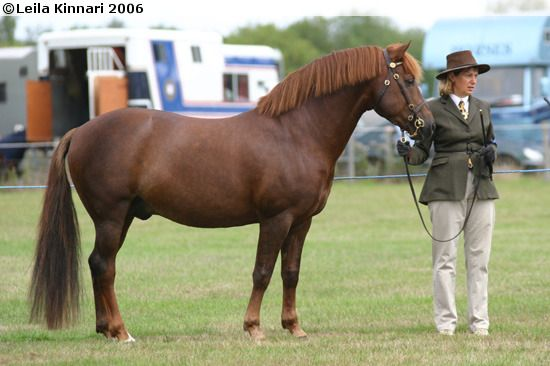 New Forest Pony - stallion Sabina's Gold Sovereign