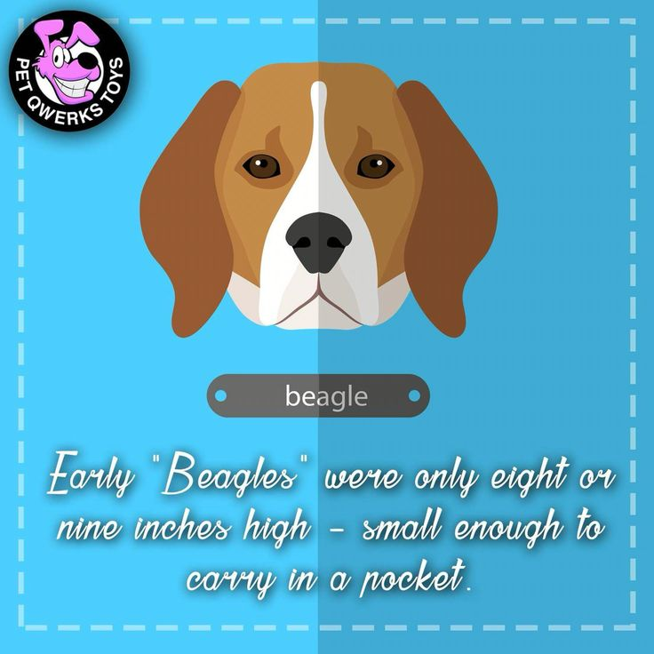 The Beagle is a sturdy, hardy little hound dog that looks like a miniature Foxhound. The body is squarely-built while the skull is fairly long and slightly domed. The square muzzle is straight and medium in length. The large eyes are brown or hazel and are set well apart. The wide, pendant ears are low set and long. The black nose is broad with full nostrils. The feet are round and firm. The tail is set moderately high and never curled over the back. The coat is of medium length, close…
