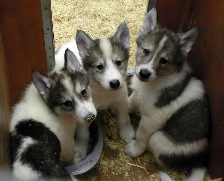 Native American Indian Dog pups. :) one of my fav. dogs