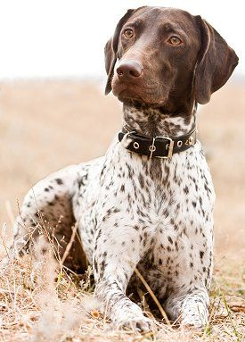 German Shorthaired Pointer - Training