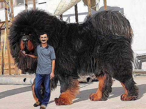 Cão Gigante