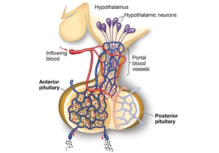 hypothalamic pituitary portal system - Cerca con Google