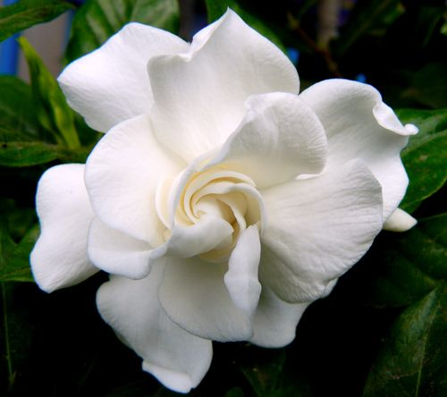 The glorious Gardenia,all you need is one to fill your home with the fragrance. My second favorite flower.: Summer Flowers, Fragrance, Pattern, Gardenias Veitchii, Green, Gardenias Jasminoides, Front Yard, Flowers Power, Beautiful Flowers