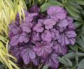 Primo™ 'Wild Rose' - Coral Bells - Heuchera hybrid | Proven Winners
