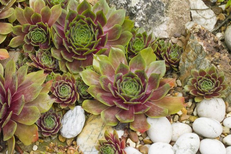 Growing Charming Hens and Chicks  (Sempervivum tectorum)