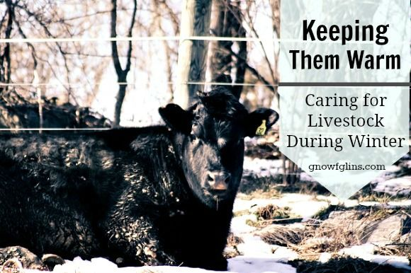 how to tell when a cow is ready to calve