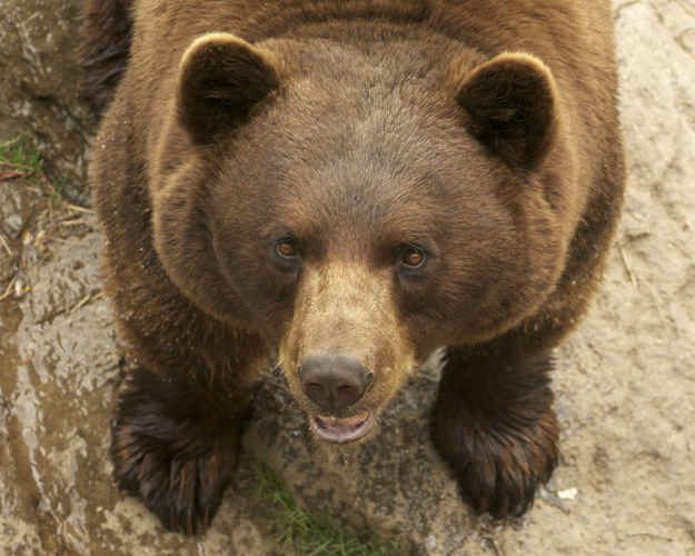 The bear who saved an elderly hiker's life.   The 24 Most Heroic Animals In History
