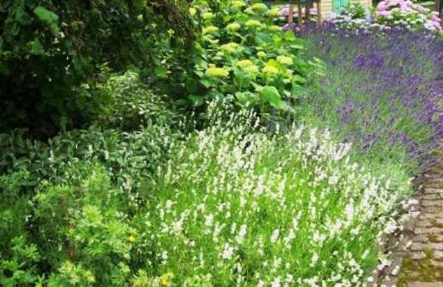 de zijtuin, combinatie van Lavendel en Hortensia's