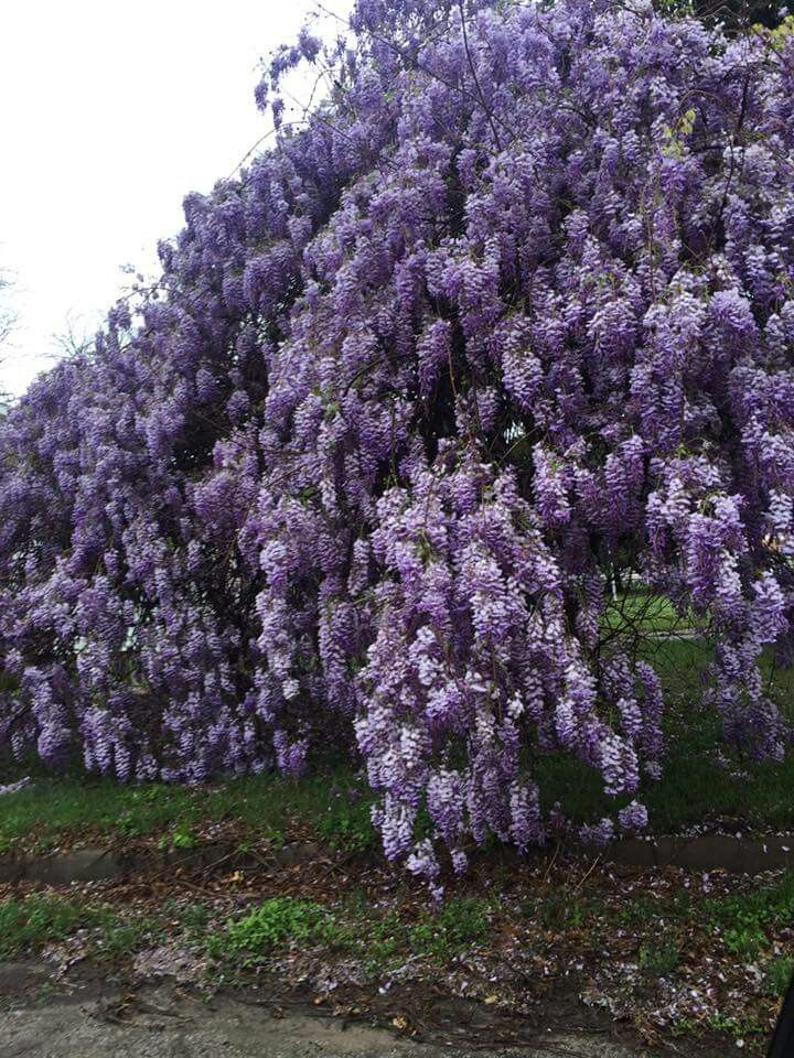 What A Beautiful Wisteria In Weatherford Texas March 27 2018 Climbing Flowers Wisteria Tree Wisteria Garden