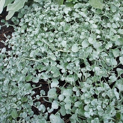 "NOTE: Grew easily from seed~ Plan to try overwintering this indoors~ Dichondra ""Silver Falls"""