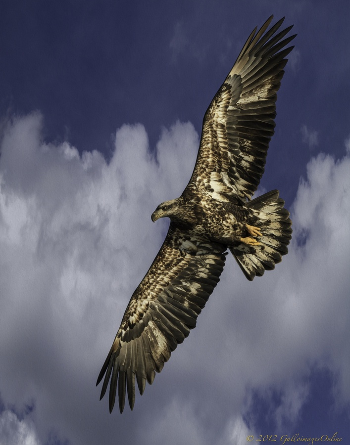 ☀A handsome juvenile bald eagle by Mark Perry,