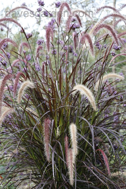 59 best images about garden and landscape on pinterest for Blue fountain grass