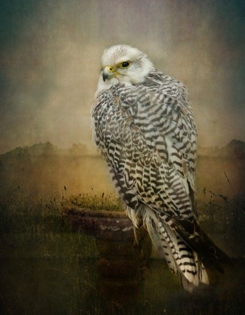 "jerzee55:  "" The watchful Hawk  By pauline fowler  """