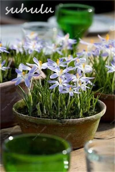 100 Pcs/Bag Saffron Seeds,(Not Crocus Saffron Bulbs),Bonsai Flower Seed Iran Saffron Potted Plant Light Up Your Garden Mix Color