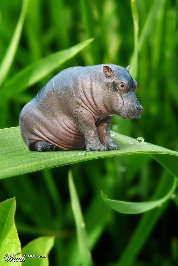 Please tell me that this is real and that I can have a teacup hippo for my purse. I used this for an art project and found that printing it in black and white helped a lot with shading