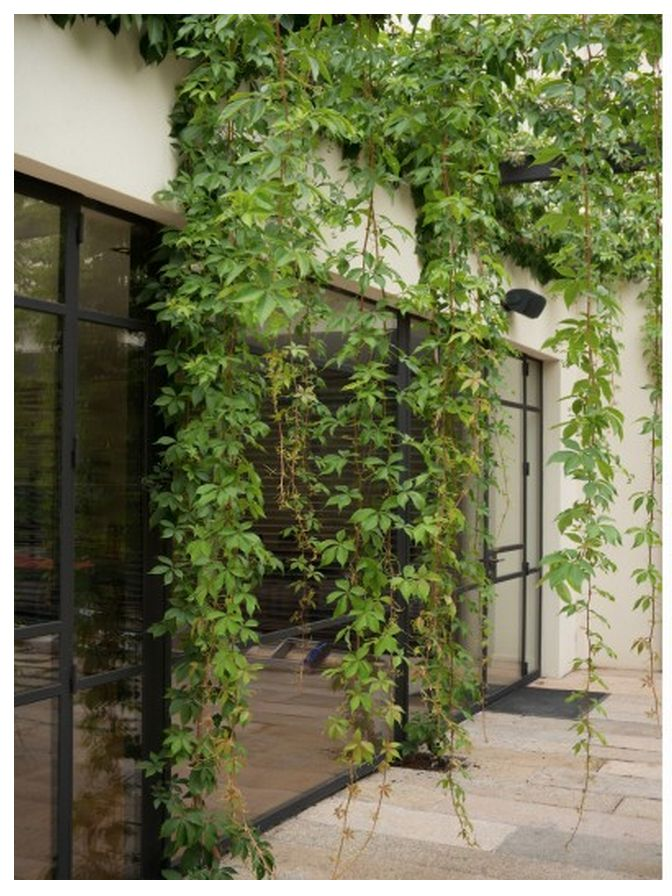 Virginia Creeper to the planters on the level 2 western terrace and trained up the pergola