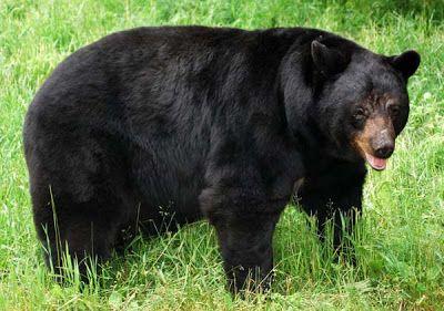 American Black Bear   American Black Bear Habitat In Natural Trap Caves