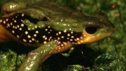 Sapo peruano integra lista de especies en peligro de extinción