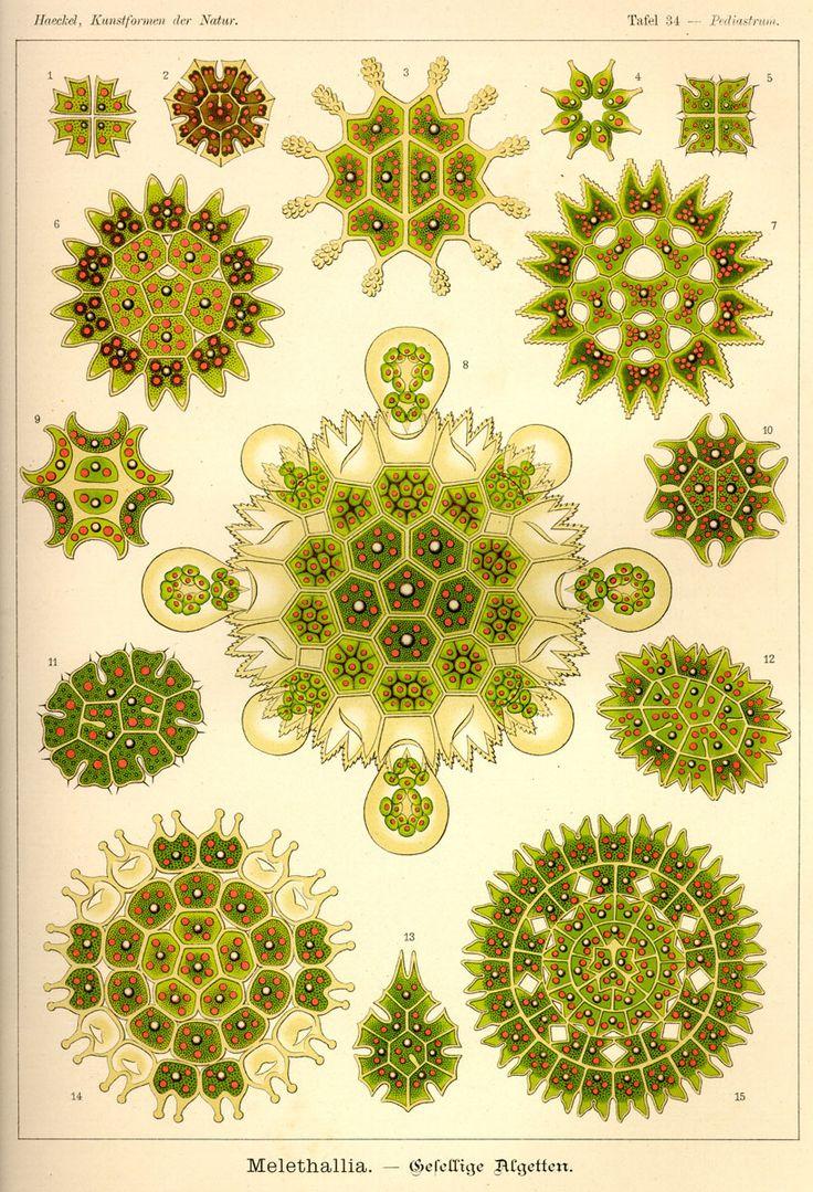 Melethallia by Ernst Haeckel;  Kunstformen der Natur, 1900