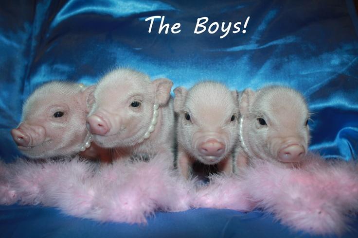 Little pink Micro Mini pigs Pink Mini Pigs