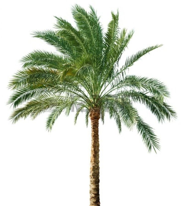 11317219-palm-tree-isolated-on-white-background.jpg (399×450)