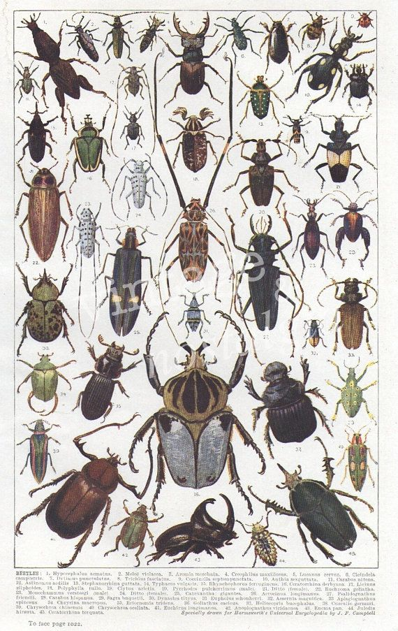 Natural History BEETLE print insects bugs by VintageAndNostalgia, $15.95