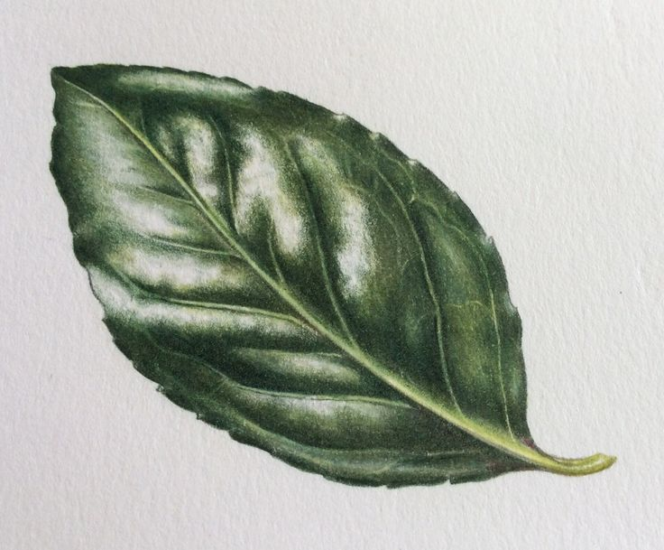 Shiny Leaf Step-by-Step | Watercolors | Color pencil art ...