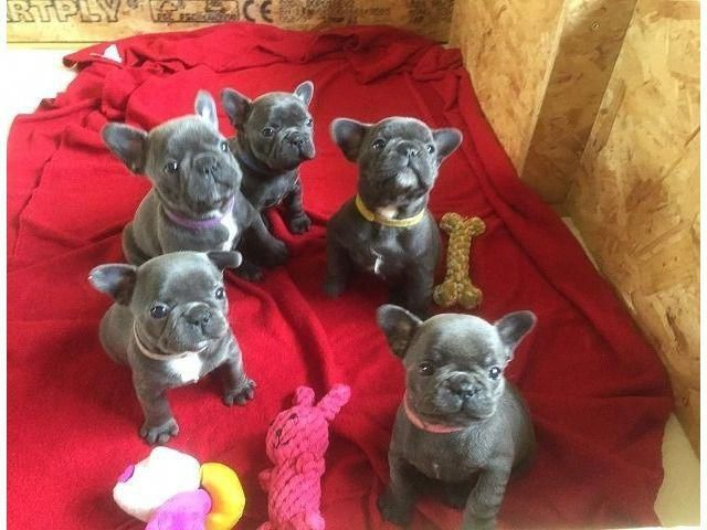 Good Looking Blue French Bulldog Puppies Blue French Bulldog Puppies French Bulldog Puppies Bulldog Puppies