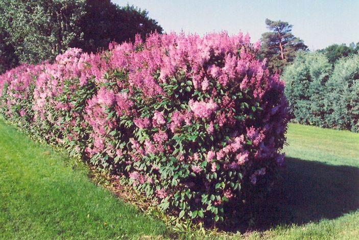 36 Best Images About Shrubs That Flower On Pinterest Hydrangeas Shrubs And Bud