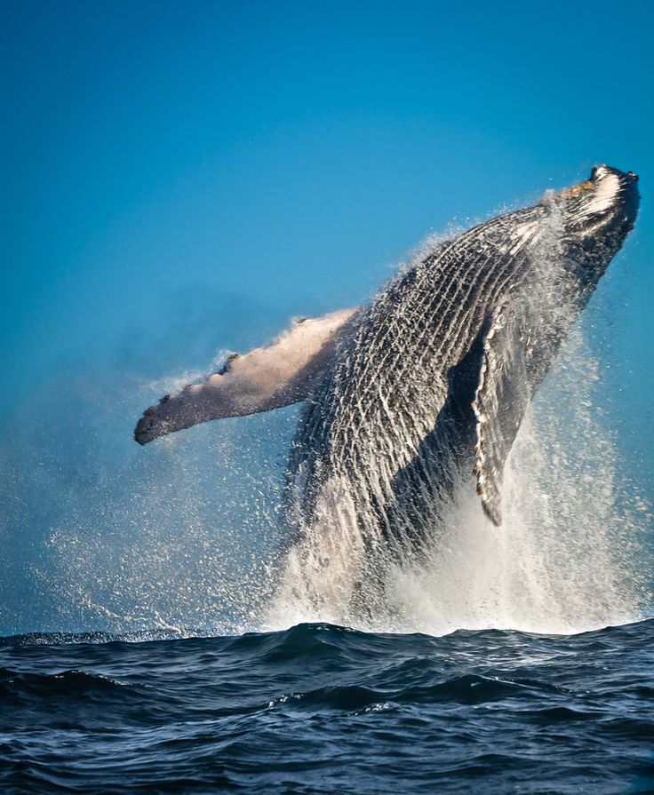 Géants des mers, vous pouvez les observer de juin à septembre à Tadoussac, au…