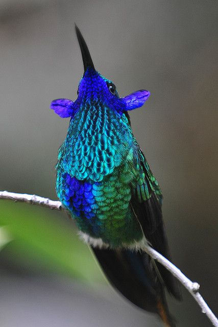 A rare photo of a Violet Eared Hummingbird. Another bird was getting a drink above it and it got mad... these ears flipped up and it chittered up a storm.