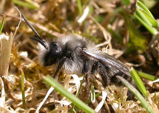 Ashy Mining Bee, Andrena cineraria.male.070412 by Drinker Moth, via Flickr