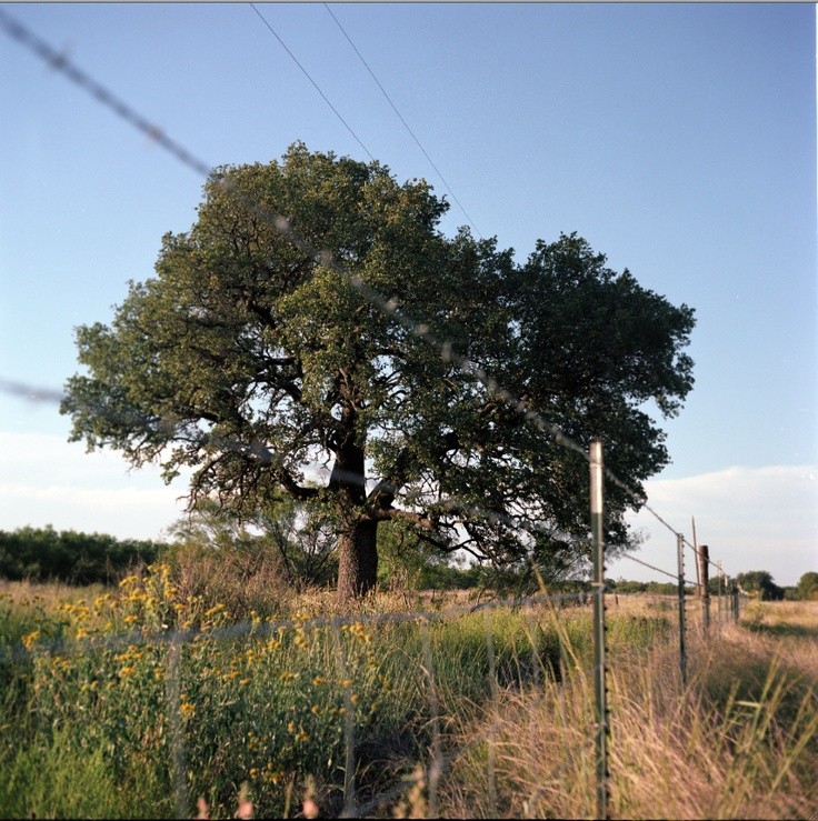 """The Tree at Center of Texas, The Heart O' Texas Oak, from my new book, """"Living Witness: Historic Trees of Texas"""" See more at livingwitness.net"""