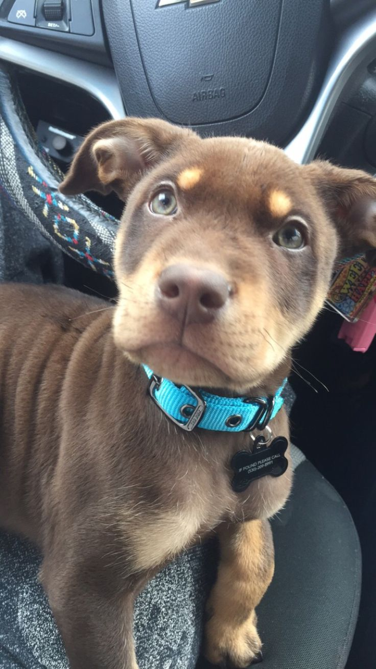 handsomedogs — My baby Bronson, he's a pit/lab/rott mix and the...