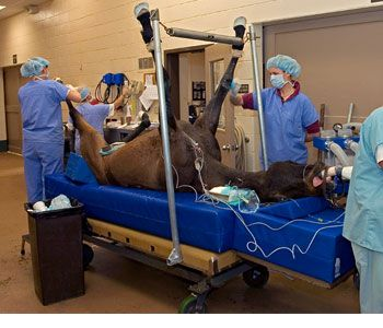 "Thinking about a career as a veterinary technician? Consider working with horses. ""An equine patient is ready to undergo surgery for an umbilical hernia at Hagyard Equine Medical Institute in Lexington, Ky. One veterinarian and two equine surgical technicians are present.   Photo courtesy of Ed Kane, PhD."""