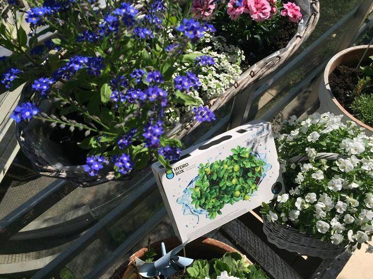Hydrobox sprawdzi się idealnie pod większość kwiatów balkonowych. #hydrobox #hydroboxpl #kwiaty #sadzenie #kwiat #balkon #niezapominajki #bratki #surfinia #petunie #diy #dekoracje #nature #dekoracje #diy #vintage #koszyk #ideas