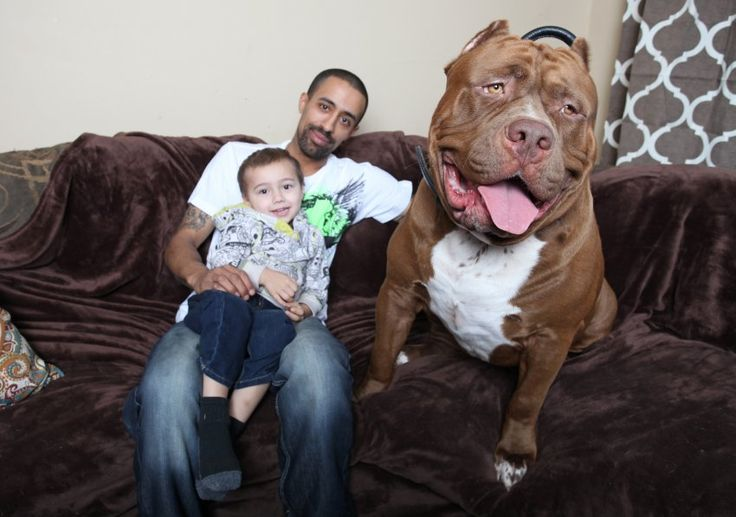 Hulk, so betonen die Züchter Marlon und Lisa Grennan aus dem US-Bundesstaat New Hampshire, sei ausgeglichen und sanft, ein echter Familienhund eben. Der dreijährige Sohn Jordan kann so ziemlich alles mit Hulk anstellen - auf ihm reiten, auf seinem Rücken liegen, ihn zwicken oder mit ihm raufen.