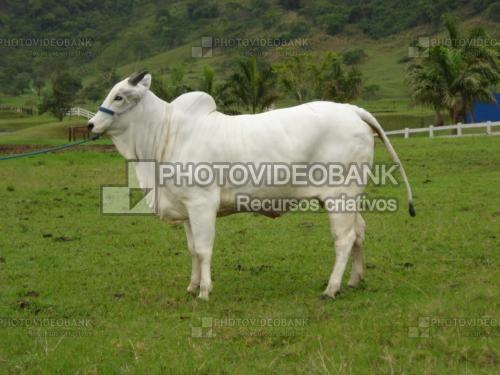 Boi nelore | PHOTOVIDEOBANK vc sabia que na verdade é uma vaca?  boi nelore brasileiro gado de perfil lado em pé imagem de bovinos de corte branco pecuária em montanhas com pasto.