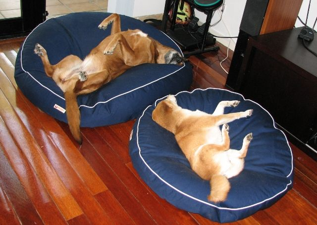 Much better, the right dog on the right bed - and everyone's asleep! #Shiba #Inu #ShibaInu #bed #pet #petbed #beanbed