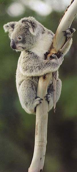 koala climb to high maby????❤️                                                                                                                                                                                 More