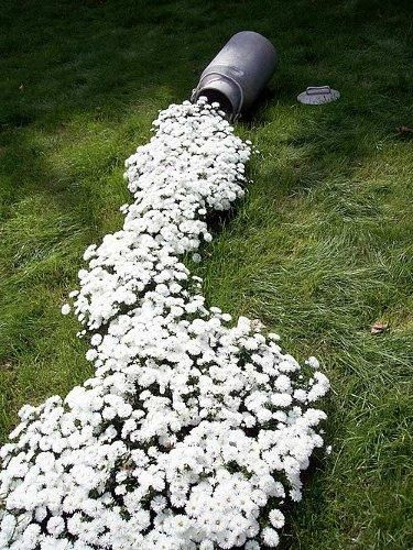 DIY Milk Can Planter Spilling Out - Great garden idea! trouble is with a dog 2 cats and children it would never look like this!