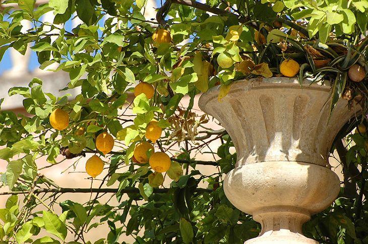 Limoni di #Sicilia - #Sicily
