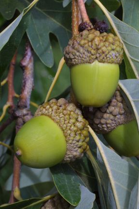 Quercus alba (white oak) - fruit