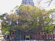 Mahabodhi Temple, Mahbodhi Tree, grown from a seed of the tree beneath which the Buddha attained Enlightenment.
